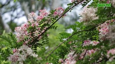 Ngắm muồng hoa đào bung nở đẹp mê hồn ở Hà Nội