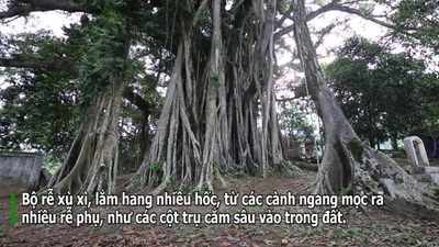 """Tận mắt hai """"báu vật xanh"""" tại vùng đất thiêng của Hà Nội"""