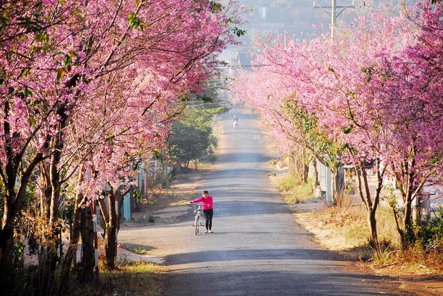 Đà Lạt 'khoác áo hồng' khi xuân về - Ảnh: Huynh Phong