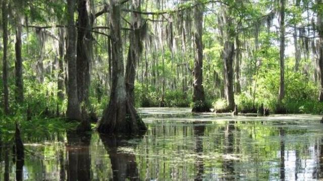 Một góc đầm lầy sinh thái đặc trưng của Louisiana