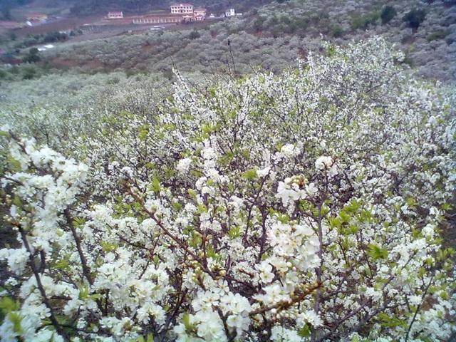 Mùa xuân hoa mận nở trắng trời ở Mộc Châu