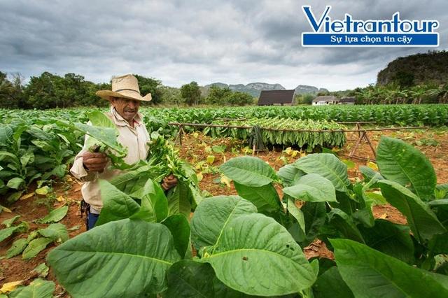Việc thu hoạch lá xì gà ở mỗi cây có thể kéo dài đến cả tháng