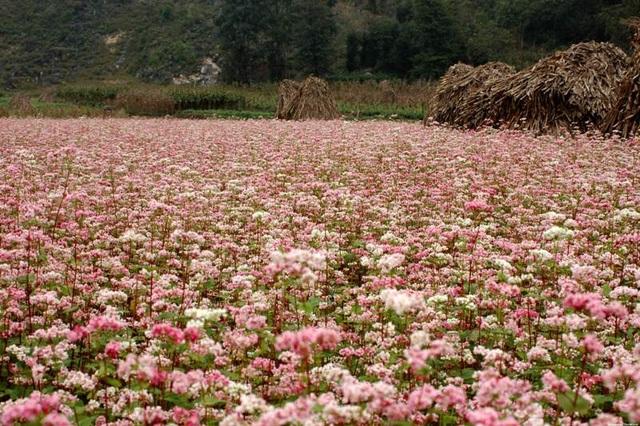 Du khách hãy tới Mộc Châu để tận mắt nhìn những bông hoa tam giác mạch (thongtindulichthungnai)