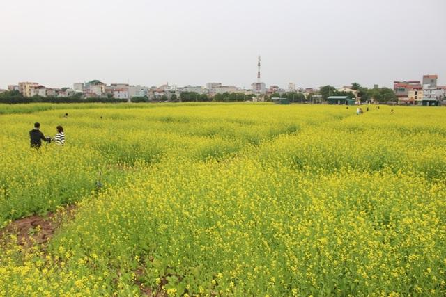 Ngẩn ngơ giữa cánh đồng cải vàng sưởi ấm trời đông Hà Nội - 1