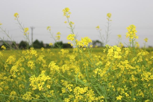 Ngẩn ngơ giữa cánh đồng cải vàng sưởi ấm trời đông Hà Nội - 2