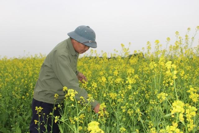 Ngẩn ngơ giữa cánh đồng cải vàng sưởi ấm trời đông Hà Nội - 5