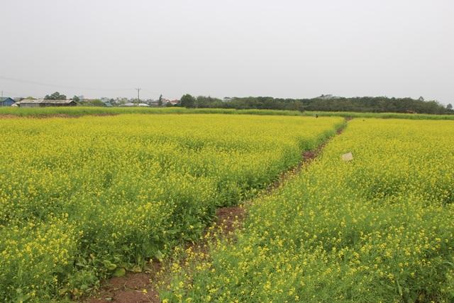 Ngẩn ngơ giữa cánh đồng cải vàng sưởi ấm trời đông Hà Nội - 6