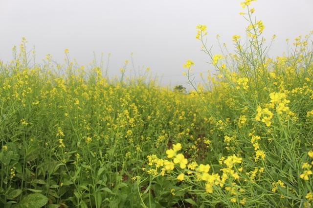 Ngẩn ngơ giữa cánh đồng cải vàng sưởi ấm trời đông Hà Nội - 11