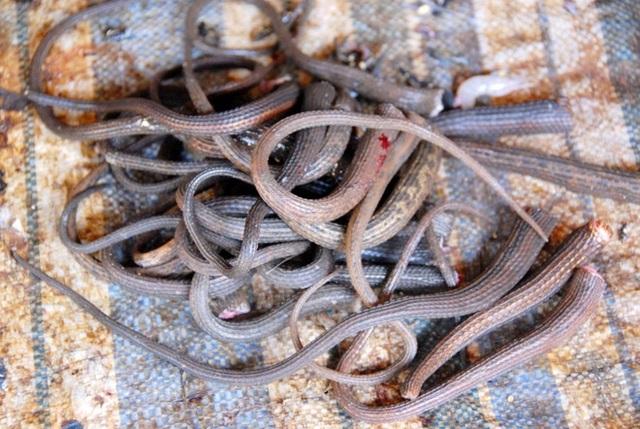 Vào mùa nước nổi, rắn ở đồng bằng Sông Cửu Long nhiều vô kể.