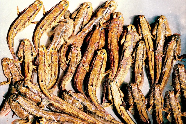 Cá thòi lòi có giá trị dinh dưỡng rất cao.