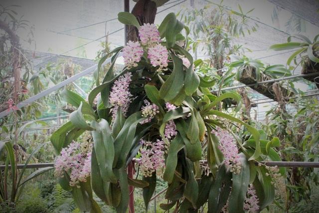 Hiện tại, giò lan tai trâu trong khu vườn của anh đang nở hoa khá đẹp. Theo anh Tuấn Anh cho biết, cây lan này được mua cả gốc từ trong Bình Thuận với giá khoảng 1000 USD. Khi có người hỏi mua, tùy vào chất lượng của hoa mà chủ nhân sẽ định giá, trung bình dao động trong khoảng 40 – 50 triệu đồng hoặc hơn.