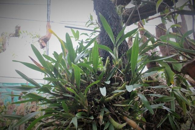 Anh Tuấn Anh cũng không quên kể về một cây lan khá lạ được mua từ Lào. Dù đã 15 năm trôi qua nhưng cây chưa một lần nở hoa, mặc cho anh đã thử đủ mọi cách, cho cây sống ở đủ môi trường. Lá của cây vẫn phát triển xanh và tốt, hình dáng đẹp nhưng anh Tuấn Anh chưa thể xác định được tên gọi của loài này.