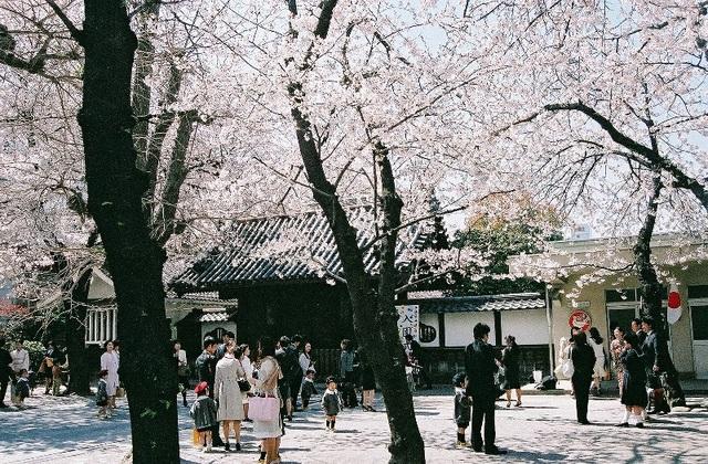 Hoa anh đào nở rộ tại Tokyo