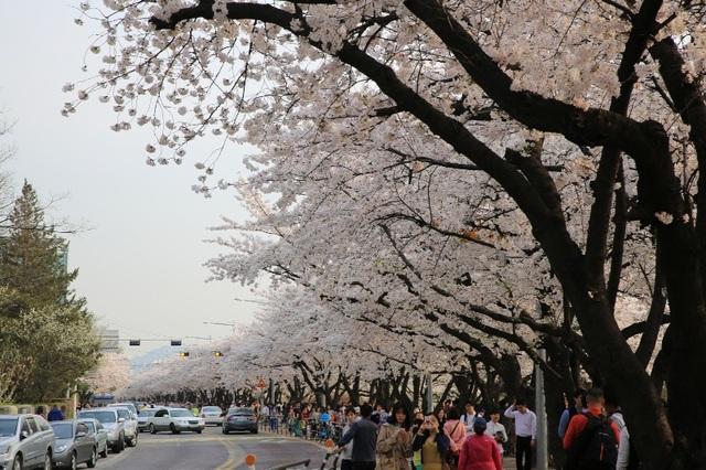 Lễ hội hoa mùa xuân ở công viên sông Hàn Yeouido