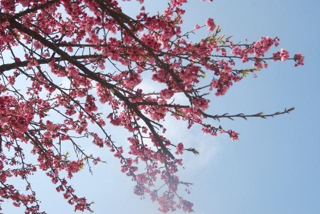 Lên Sa Pa ngắm hoa anh đào Nhật Bản khoe sắc hồng tuyệt đẹp - 1