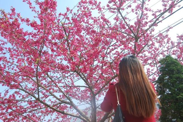 Lên Sa Pa ngắm hoa anh đào Nhật Bản khoe sắc hồng tuyệt đẹp - 2