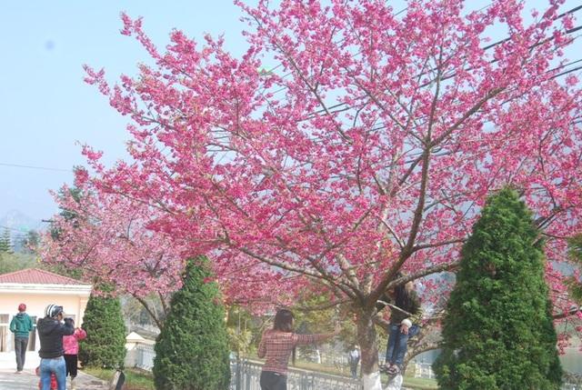 Lên Sa Pa ngắm hoa anh đào Nhật Bản khoe sắc hồng tuyệt đẹp - 3