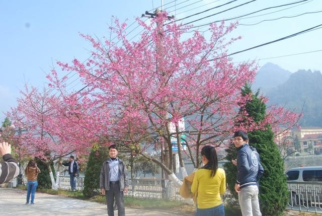 Lên Sa Pa ngắm hoa anh đào Nhật Bản khoe sắc hồng tuyệt đẹp - 4