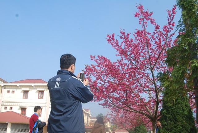 Lên Sa Pa ngắm hoa anh đào Nhật Bản khoe sắc hồng tuyệt đẹp - 5