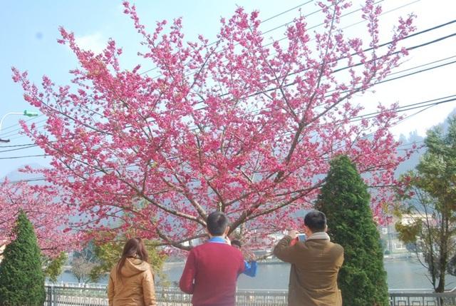 Lên Sa Pa ngắm hoa anh đào Nhật Bản khoe sắc hồng tuyệt đẹp - 6