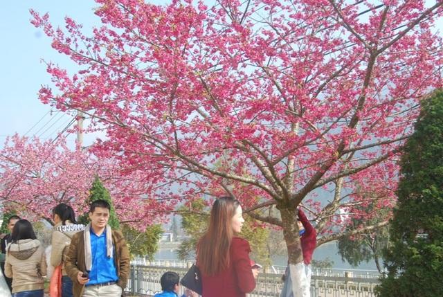 Lên Sa Pa ngắm hoa anh đào Nhật Bản khoe sắc hồng tuyệt đẹp - 8