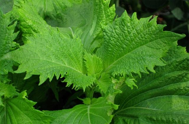 Lá tía tô xanh giống của Nhật Bản được xuất khẩu với giá cao.