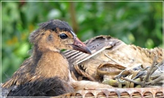 Cúm núm hay còn gọi là gà nước – một trong những đặc sản nổi tiếng của vùng đất Cửu Long