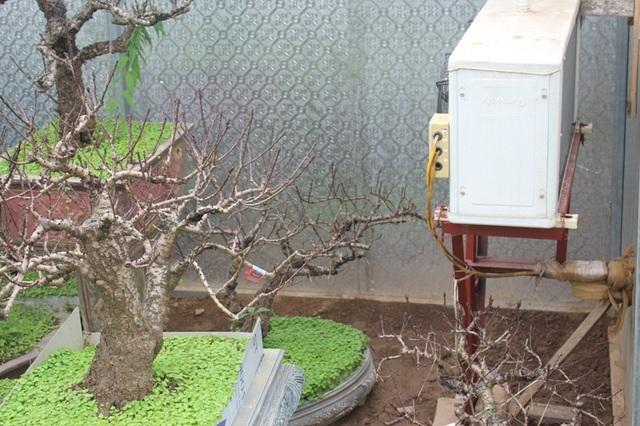 """Ở Nhật Tân, ai ai cũng biết đến vườn đào thất thốn nức tiếng của nghệ nhân Lê Hàm. Theo ông, yếu tố thời tiết ảnh hưởng rất nhiều đến quá trình cây ra hoa vào đúng Tết. Chính vì vậy, ông Hàm phải đưa các gốc đào đạt chuẩn vào kho, sử dụng 2 máy điều hòa để """"ủ đào"""". Hàng ngày, ông theo dõi sát sao từng """"hơi thở"""" của các gốc đào quý. Chỉ cần nhiệt độ môi trường thay đổi, ông Hàm lập tức phải điều chỉnh nhiệt độ trong phòng ủ đào cho thích hợp. (Ảnh: H.N)"""