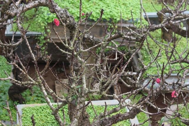 Đào thất thốn có đủ loại, gồm cây ươm từ hạt cho đến đào ghép cao, thấp. Dáng thế đào phong phú. Để có một cây chơi được, người trồng ít nhất phải mất 15 năm ươm trồng, chăm sóc. (Ảnh: H.N)