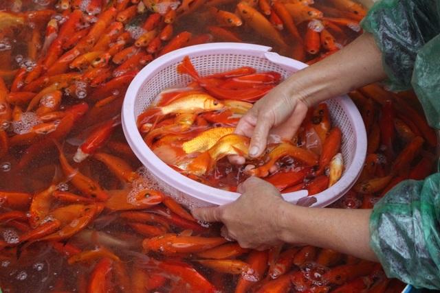 Cá chép sống được người dân mua về trong ngày ông Công ông Táo. (Ảnh: H.N)