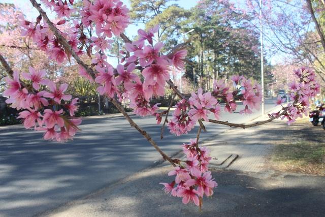 Lần đầu tiên có một Ngày hội tôn vinh loài hoa mai anh đào Đà Lạt