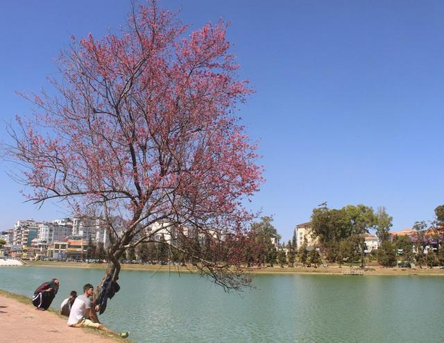 Hoa mai anh đào khoe sắc rực rỡ bên hồ Xuân Hương