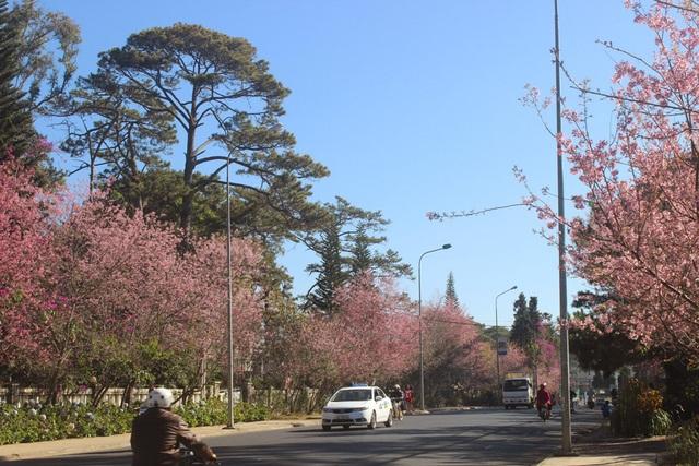 Lần đầu tiên tổ chức Ngày hội hoa mai anh đào Đà Lạt - 3