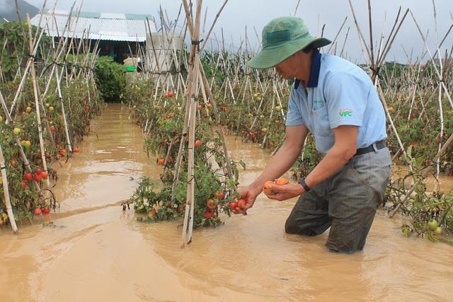 Nhiều diện tích rau màu bị thiệt hại do mưa lũ, nguy cơ sản lượng rau phục vụ cho Tết Nguyên đán bị thiếu hụt