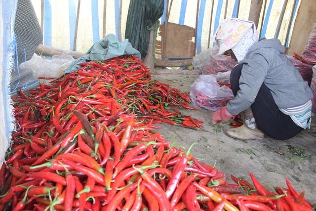 Nhờ giá ớt tăng cao mà vụ năm nay một số nông hộ trúng lãi lớn