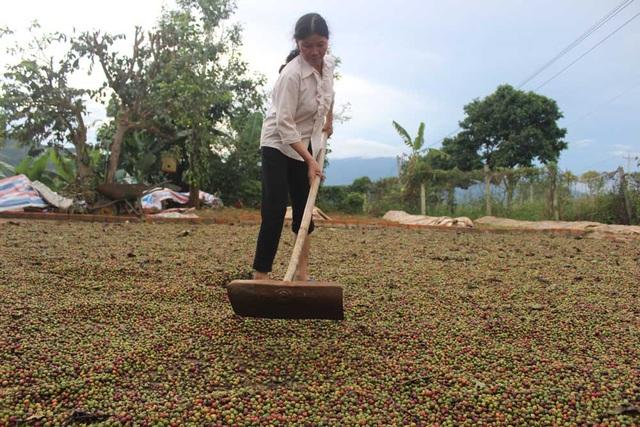 Những trận mưa lớn kéo dài khiến việc thu hái cũng như phơi sấy, chế biến cà phê của người nông dân gặp rất nhiều khó khăn