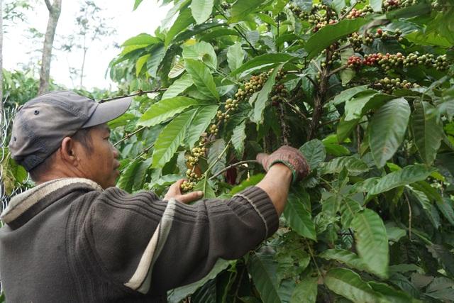 Lâm Đồng hiện đang trong cao điểm thu hoạch cà phê