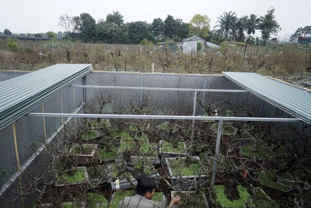 Vườn đào Thất thốn của ông Lê Hàm ở Nhật Tân là một khu lán chia làm nhiều ô, được quây tôn rộng vài trăm mét vuông. Việc này để chăm sóc cho cây được tốt hơn và tránh mưa nắng.