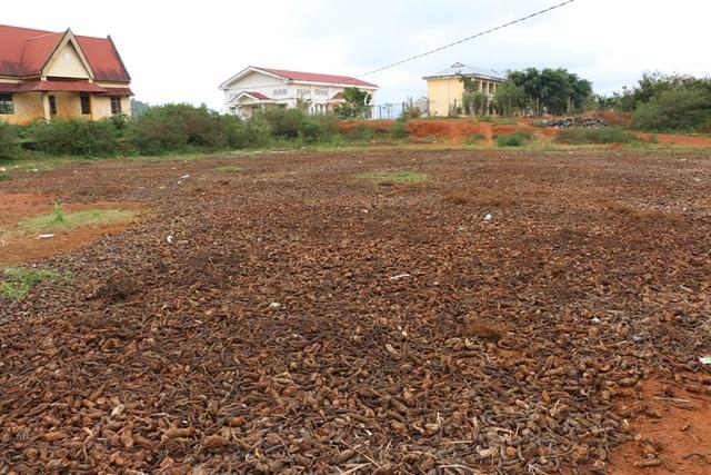 Rễ cây được phơi rất nhiều tại 1 sân đất ở trung tâm xã Đăk Rong