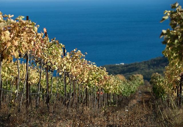 Những vườn nho gần làng Lazurnoye, phía xa xa là đại dương xanh thẳm. Crimea có những vườn nho rộng mênh mông, cung cấp nguyên liệu để sản xuất rượu vang.