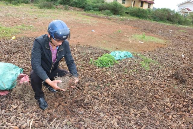 Rễ cây na đang được thương lái Trung Quốc thu mua nhưng không ai biết để làm gì?