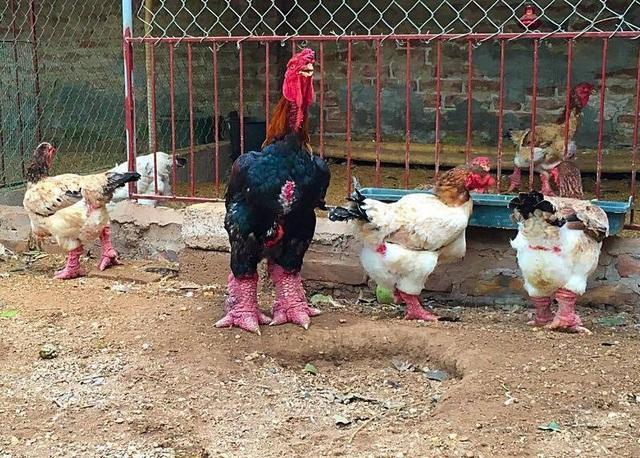 Dân buôn đang lùng mua gà quý để găm hàng chờ bán Tết
