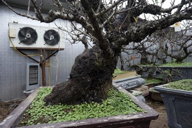 Khu lán trồng đào được xây dựng khá tốn kém với các vật liệu như tôn cách nhiệt, máy sưởi, mái che cơ động, điều hòa công suất lớn để... điều tiết nhiệt độ phù hợp với cây.