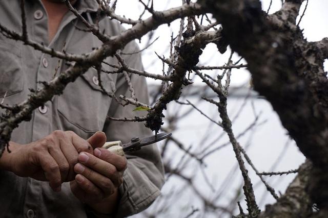 Ở Nhật Tân hiện tại chỉ có khoảng gần chục hộ trồng đào Thất thốn kinh doanh, nhưng để thành công với giống đào này thì không nhiều, tỷ lệ rủi ro là 50 -50. Cây đào nào cũng phải sửa để tạo thế, việc này chính là đem lại khác biệt cho vườn đào của mỗi chủ nhân.