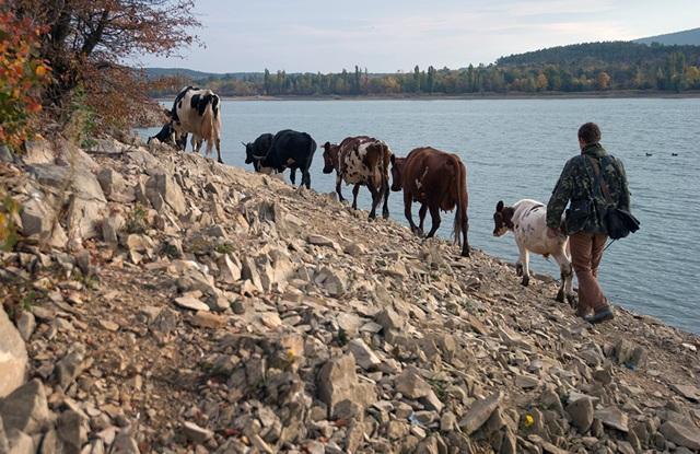 Một người chăn thả gia súc đi bộ bên hồ Simferopol tại làng Lozovoye, Crimea.