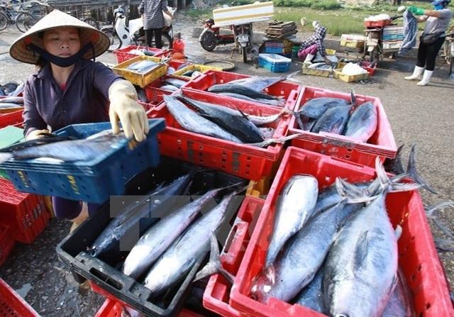 Sau sự cố ô nhiễm biển miền Trung, hơn 5300 tấn hải sản bị tồn đọng trong các kho lạnh, người dân than trời vì thiệt hại.
