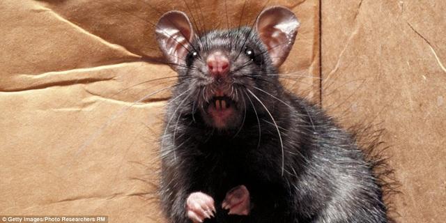 Paris khốn đốn vì chuột - 1