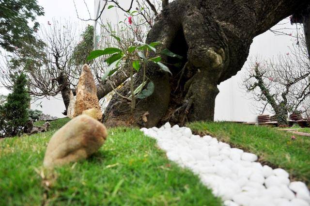 Gốc đào lũa tạo nên nét đặc trưng cho cây đào.