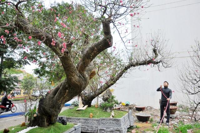 Hai cây đào thế long quấn thủy có chiều cao gần 2m, đường kính thân khoảng 50cm với tuổi đời lên tới 80 năm, thuộc giống đào rừng nguyên thủy ở Mộc Châu (Sơn La), đã ghép cành đào Nhật Tân (Hà Nội).