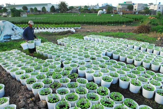 Nông dân trồng hoa chăm sóc phần còn lại để vớt vát lại vốn.
